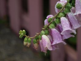 Foxglove 26 by botanystock