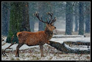 Woodland Stag by andy-j-s