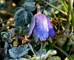 Frosted Anemone by artamusica