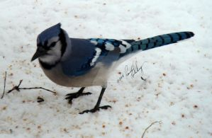 Blue Jay by GramMoo