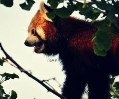 red panda III by nari-me