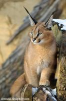 Little Caracal VI by amrodel