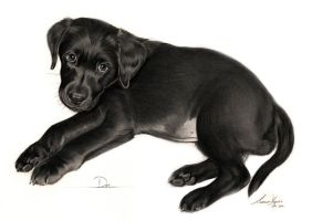 Commission - Black Labrador puppy 'Dot' by Captured-In-Pencil