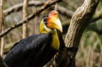Knobbed Hornbill by AzureWindProductions