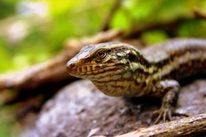 Iberian Wall Lizard by Topasdragon