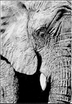 Elephant drawing by EvilEvie12