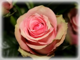 Rose by Pattarchus