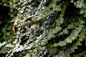 Monkey leafs - ivy by lhauert