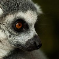 Lemur by TheRictus