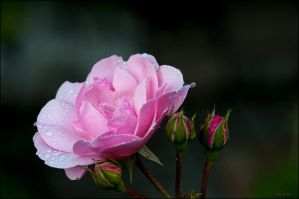 Touch of a Rose by Jack-Nobre