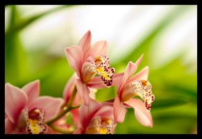 Orchid by biroo87