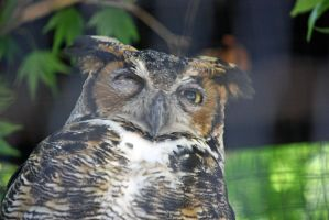 Great Horned Owl by magicia