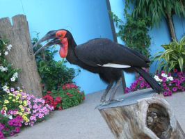 southern ground hornbill 1.3 by meihua-stock