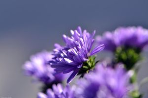 Perennial Aster by WickedOwl514
