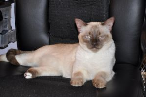 Robriel-Stock - Siamese Cat 9 by Robriel-Stock