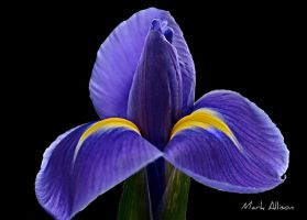 Iris by Mark-Allison