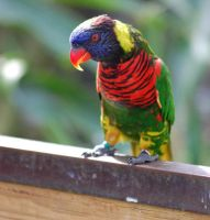 Lorikeet by JBlue2389