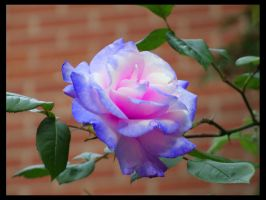 The Blue Rose by Edi-Snaps