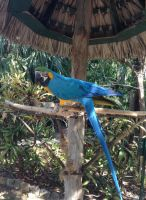 Blue and Gold Macaw 2 by UnaccountedFranglais
