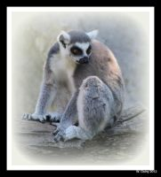 Portrait of a Ring-Tailed Lemur by lenslady