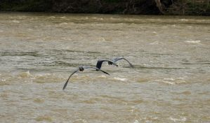 Herons in flight above water by mr-lacombe