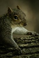 Squirrel by jzcj5