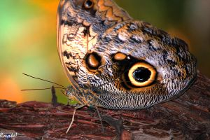 Owl Butterfly by AMLensCreations