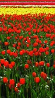 Tulip Festival #10 by KRHPhotography