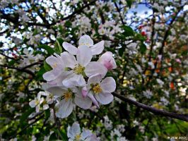 Blossoming with Blossoms! by JDM4CHRIST