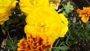 Yellow Ranunculus 3 by mc1964
