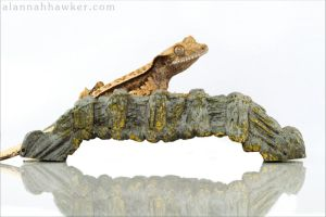 Crestie by Alannah-Hawker