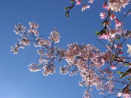 Crabapple branch by CotyStock