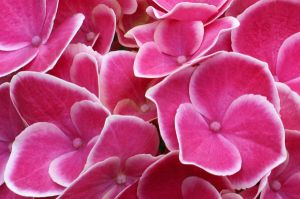 cool pinks by photofairy