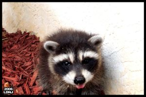 Baby Raccoon Series 9 of 9 by LarryDNJR