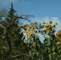 Sunflowers and dead tree by TheDreamOfBlackCat