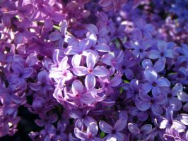 Lilas1 by JELawrence