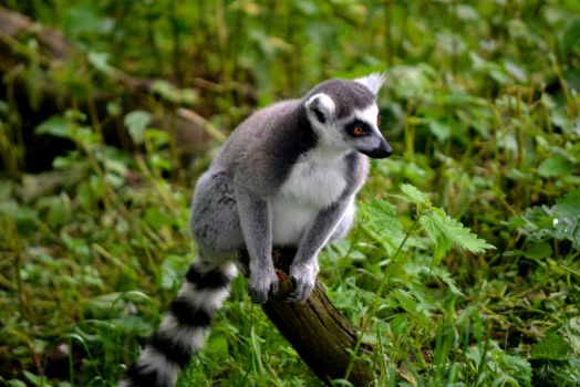 Lemur by Country-Girl-93