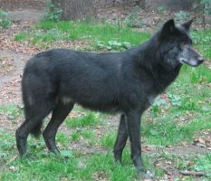 Black wolf by Ramsi