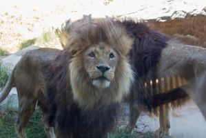 Lion Stock 1 by CNStock