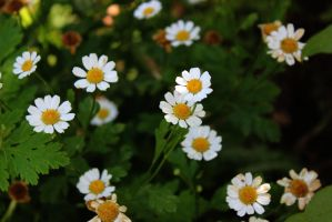 Daisies 4 by Thepieholephotograph
