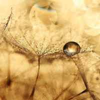 golden lace by Sandy515