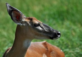 A Whitetail doe by masscreation