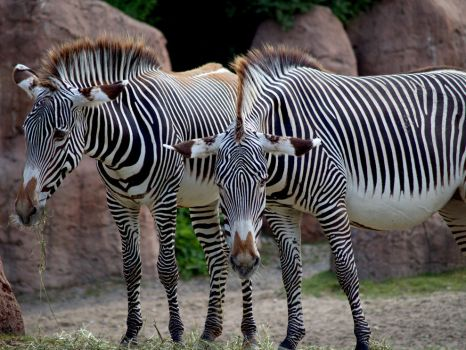 Grevy's Zebra. by purevintage
