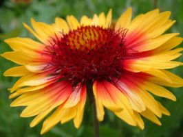 Another Blanket-flower by froggynaan