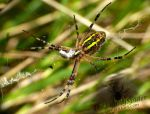 The Underside of a Female Wasp Spider by TheFunnySpider