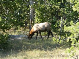 Elk's Snack Time at Yellowstone by VoyagerHawk87