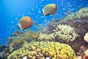 Red-tailed Butterflyfishes by MotHaiBaPhoto