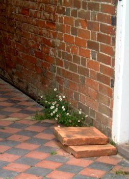 Wall Daisies. by tia-stock