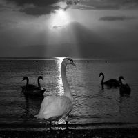 Swan on stage by BobRock99