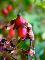 Bright Autumn Berries by gee231205